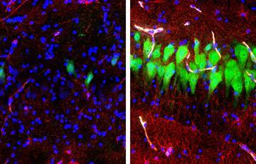 تحقیق میں یہ دکھایا گیا ہے کہ مردہ سؤروں کے دماغی خلیے ان کے مرنے کے گھنٹوں بعد بھی بحال کیے جا سکتے ہیں۔